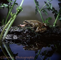 Common Frog feeding