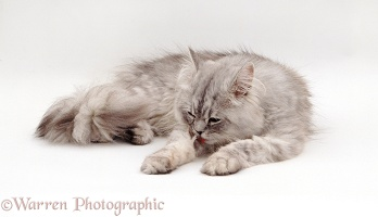 Persian cat licking his leg