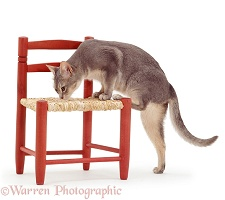 Cat sniffing chair seat where another has been