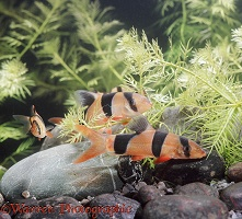 Clown Loaches and Tiger Barbs
