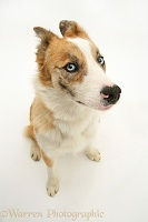 Red merle Border Collie with ears back