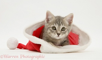 Grey kitten in a Santa hat