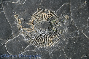 Ammonite fossil in shale