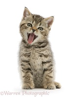 Tabby female kitten yawning