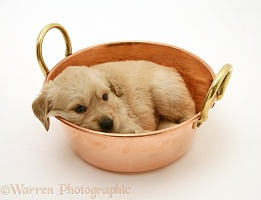 Golden Retriever pup in a copper pan
