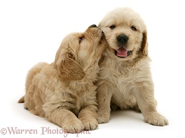 Golden Retriever pups 'kissing'