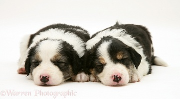 Tricolour Border Collie pups, 5 weeks old, asleep