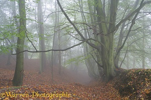 Misty Beech woodland