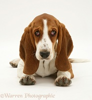 Basset Hound lying, head up