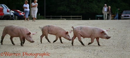 Three piglets trotting along