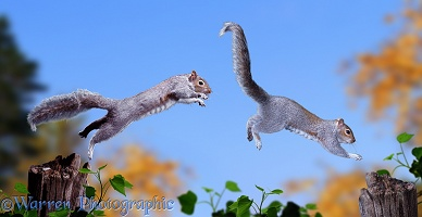 Grey Squirrels chasing