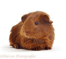 Red Guinea piglet