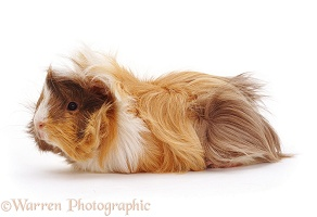 Young Abyssinian rosette Guinea pig