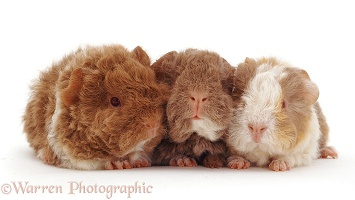 Alpaca Guinea piglets, 19 days old
