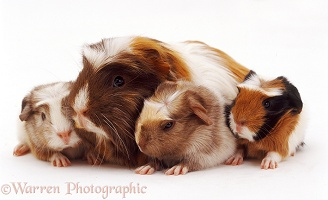 Guinea pig with 1 day old piglets