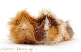 Young Abyssinian rosette Guinea pigs