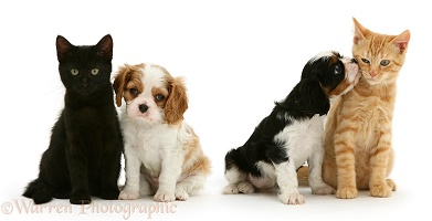 Cavalier King Charles Spaniel pups with cats