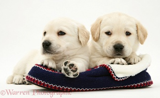 Yellow Goldador Retriever pups on a knitted slipper
