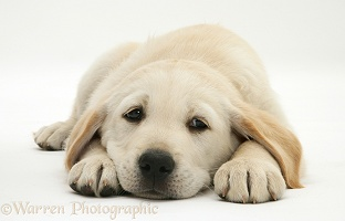 Yellow Goldador Retriever pup lying, chin on floor