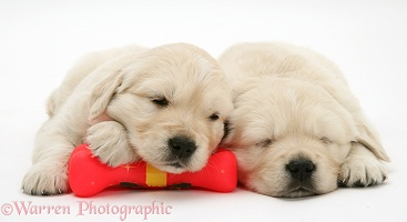 Sleepy Golden Retriever pups, 6 weeks old