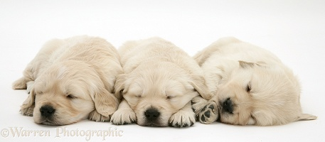 Three sleepy Golden Retriever pups, 6 weeks old