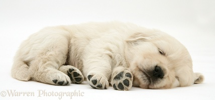 Sleepy Golden Retriever pup, 6 weeks old