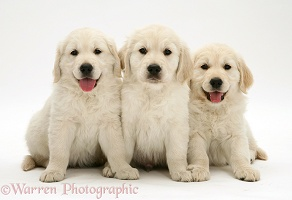 Three Golden Retriever pups sitting