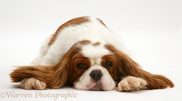 King Charles Spaniel lying, chin on floor