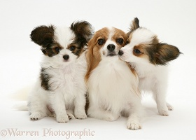 Papillon bitch with two pups
