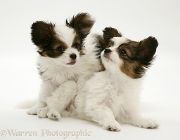 Playful Papillon pups