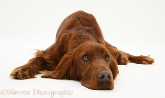 Red Setter bitch, lying down, chin on floor