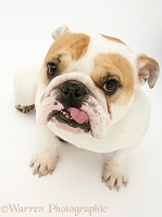 Bulldog with tongue out