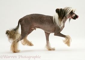 Chinese crested dog trotting across