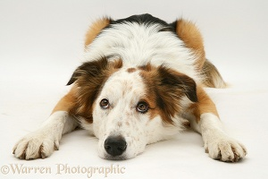 White-faced Border Collie dog lying, chin on floor