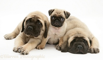Pug and Mastiff pups