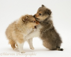 Sable Shetland Sheepdog pups play-fighting