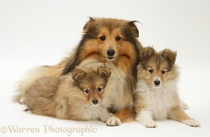 Sable Shetland Sheepdog bitch and two pups
