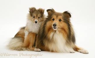 Sable Shetland Sheepdog bitch and pup
