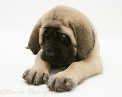Fawn English Mastiff pup lying, head up