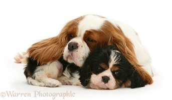Sleepy King Charles Spaniel bitch and pup