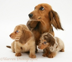 Dachshund with pups