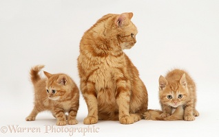 Red tabby British Shorthair mother cat and kittens