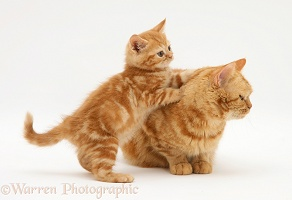 Red tabby British Shorthair mother cat and kitten