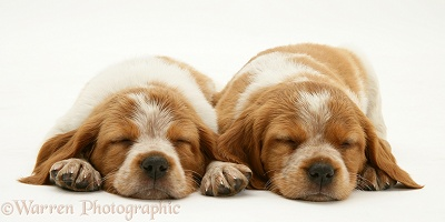 Sleeping Brittany Spaniel pups