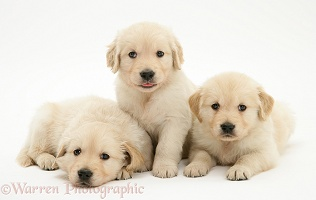 Three Golden Retriever puppies, 5 weeks old