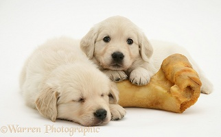 Two Golden Retriever pups with large marrow bone