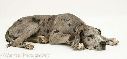 Great Dane pup