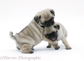 Fawn Pug pups play-fighting