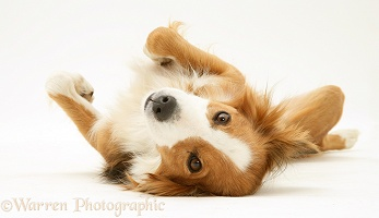 Border Collie lying upside down