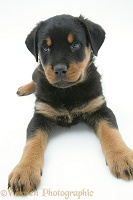 Two Rottweiler pup, 8 weeks old